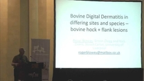 Bovine Digital Dermatitis in differing sites and species bovine hock + flank lesions