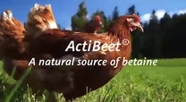 ActiBeet® A natural source of betaine