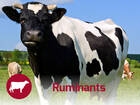 Ruminants Nutrition Solutions