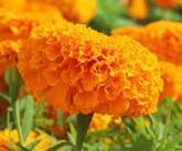 Marigold Extract Feed Grade