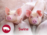 Swine Nutrition Solutions