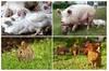 Pig Welfare