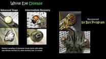 Shrimp White Eyes Disease
