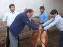 calf handling demonstration for estimation of weight gain