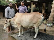 Vechur cows- local breed  of Kerala state India