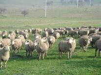 Merino Herd