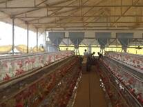 Layer Shed Feeding Automatic