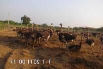 ostrich  broiler