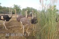 ostrich herd2