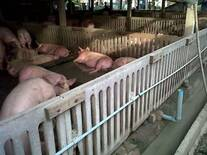 Swine in Singburi