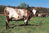 Shorthorn Cattle for Sale