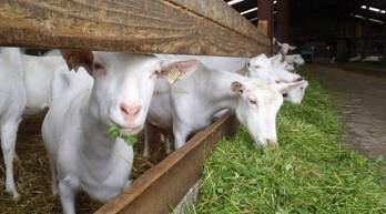 Pure Breed Saanen (4 Months Pregnant) for sale