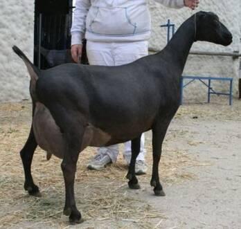 ADGA Nigerian Dwarf goats for sale