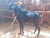Goats - Olaidairydealer